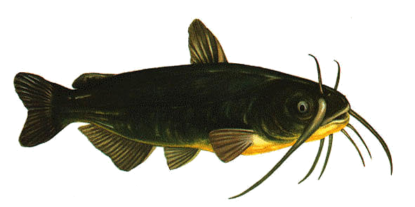 poissonchat.png